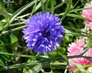 Василек махровый: выращивание из семян, когда сажать?
