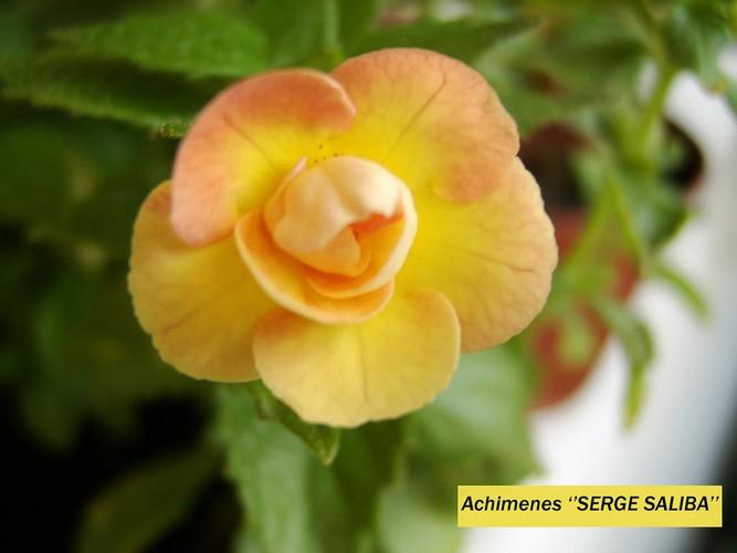 Ахименесы: каталоги с фото и описанием сорта