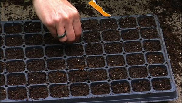 Когда садить капусту на рассаду?