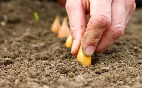 Обработка лука севка перед посадкой весной