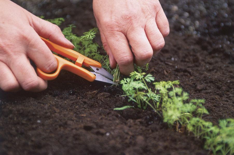 Как пикировать морковь на грядке?
