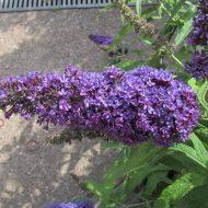 Будлея из семян: посадка и уход фото