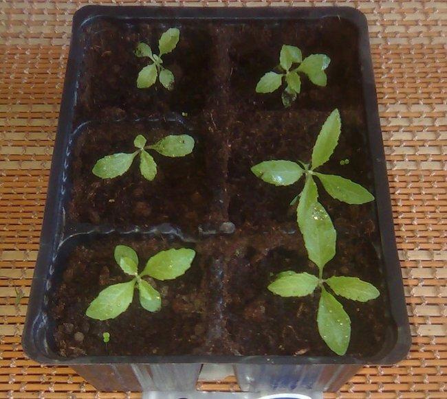 Будлея из семян посадка и уход фото