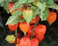 Физалис декоративный: выращивание и уход фото