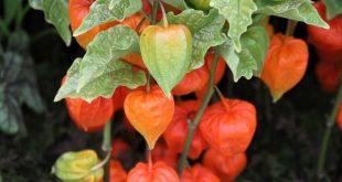 Физалис декоративный выращивание и уход фото