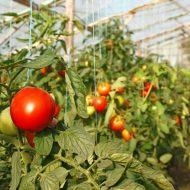 Как часто нужно поливать в теплице помидоры