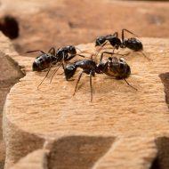 Как навсегда избавиться от муравьев в доме
