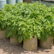 Картофель в мешках выращивание пошагово