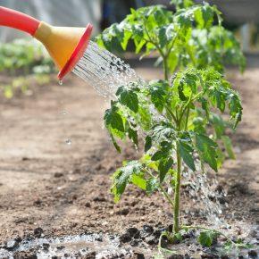 Нашатырный спирт в саду и огороде: применение