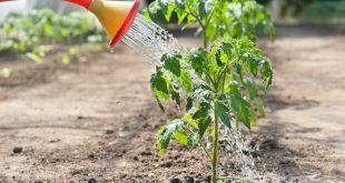 Нашатырный спирт в саду и огороде применение