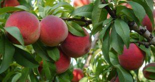 Обрезка плодовых деревьев весной в Подмосковье