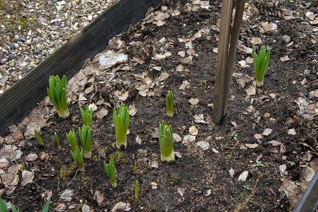 Посадка эремуруса весной