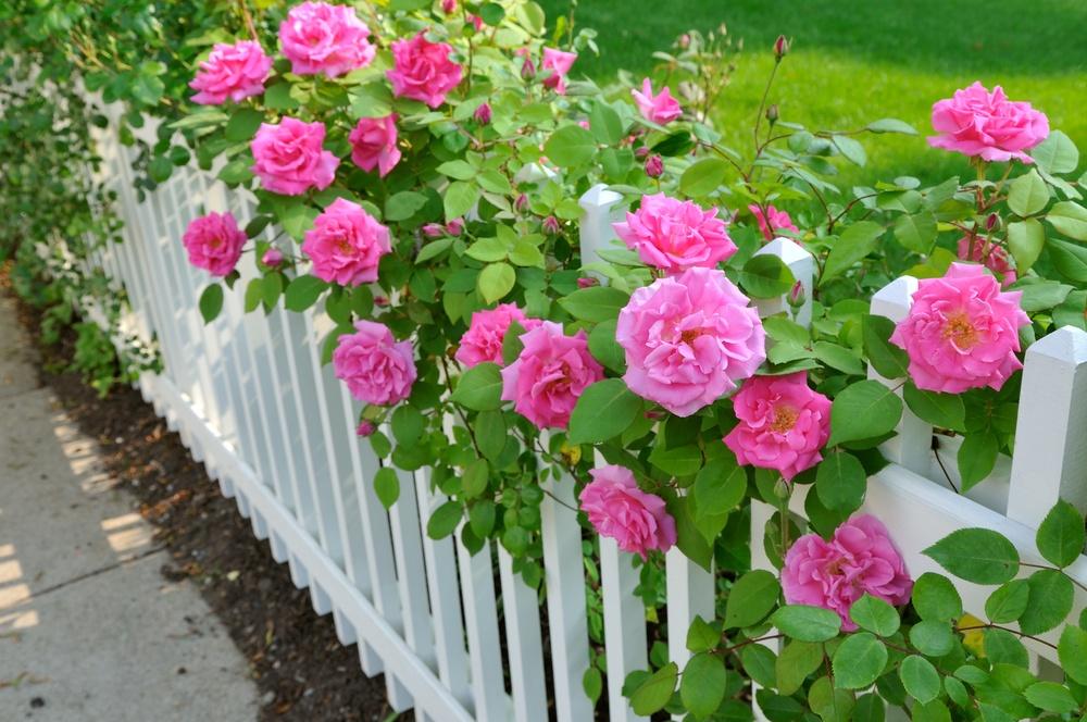 Старинные сорта французских роз