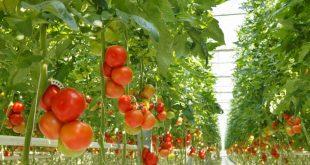 Болезни помидоров в теплице