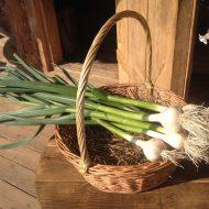 Чем подкармливать чеснок для хорошего урожая?