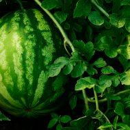 Чем подкормить арбузы во время цветения и плодоношения?