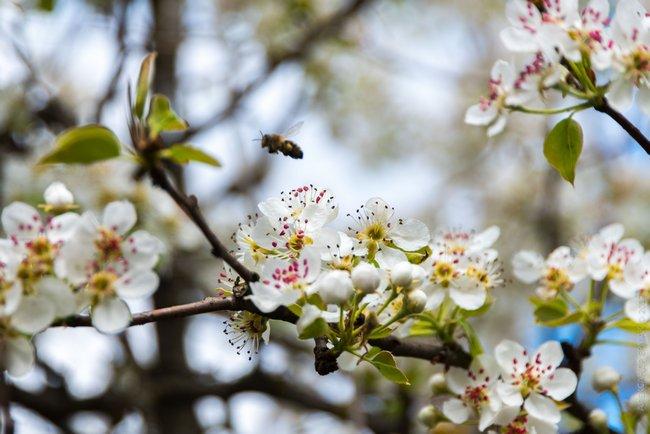 Чем подкормить грушу после цветения