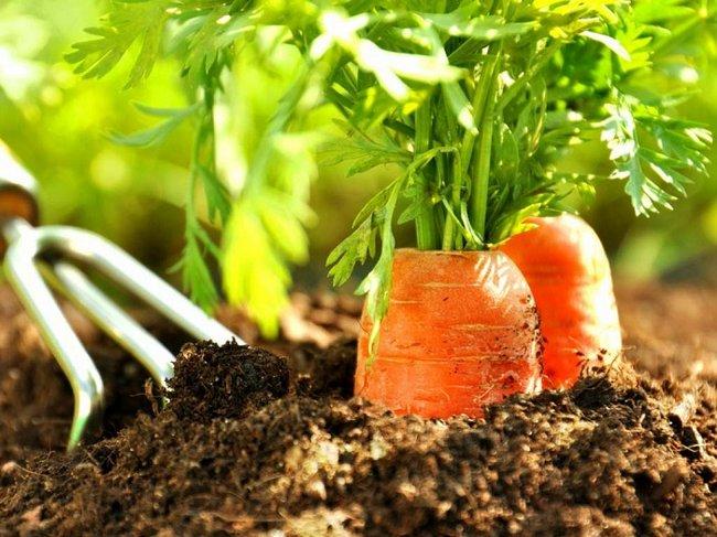 Чем подкормить морковь после прореживания