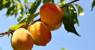 Чем подкормить персик после цветения