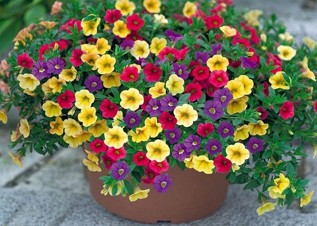 Чем подкормить петунию для обильного цветения