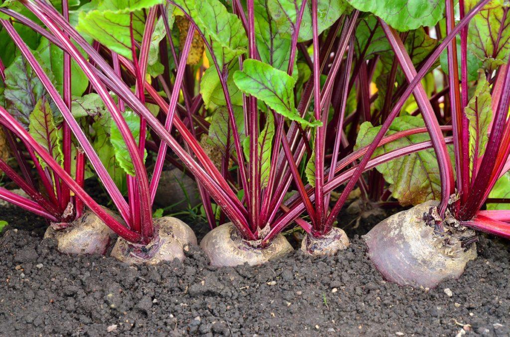 Чем подкормить свеклу для роста корнеплодов