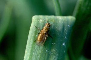 Чем поливать лук от луковой мухи