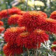 Хризантемы садовые многолетние: сорта фото