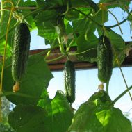 Огурцы на балконе: выращивание пошагово с фото в пластиковых бутылках