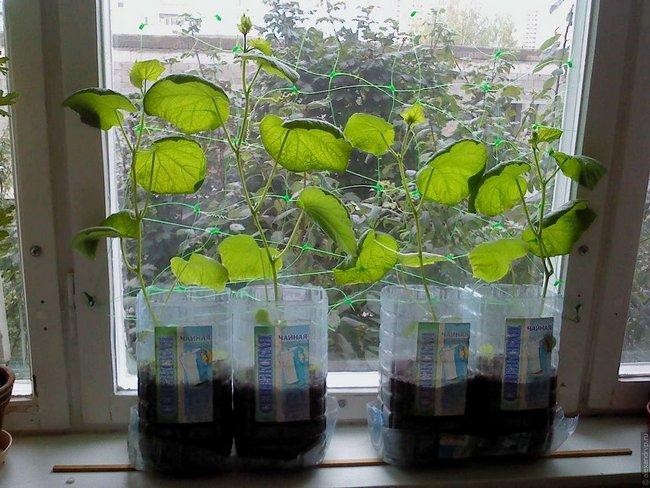 Огурцы на балконе выращивание пошагово с фото в пластиковых бутылках
