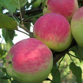 Болезни коры яблони: описание с фотографиями и способы лечения