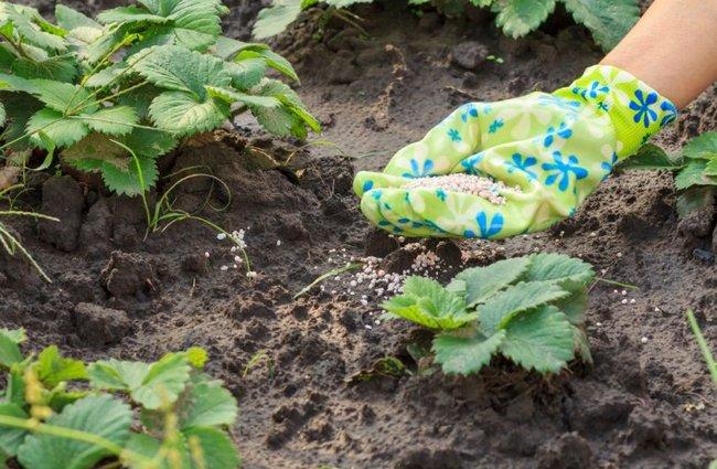 Чем поливать клубнику для высокого урожая