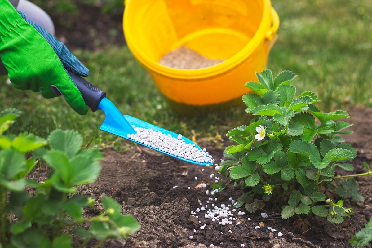 Чем поливать клубнику для высокого урожая?