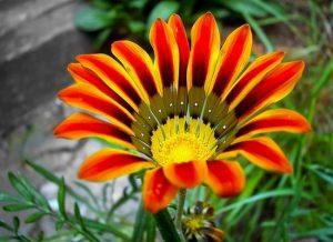 Газания посадка и уход фото когда сеять семена