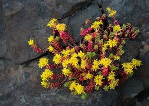 Очиток фото цветов в клумбе