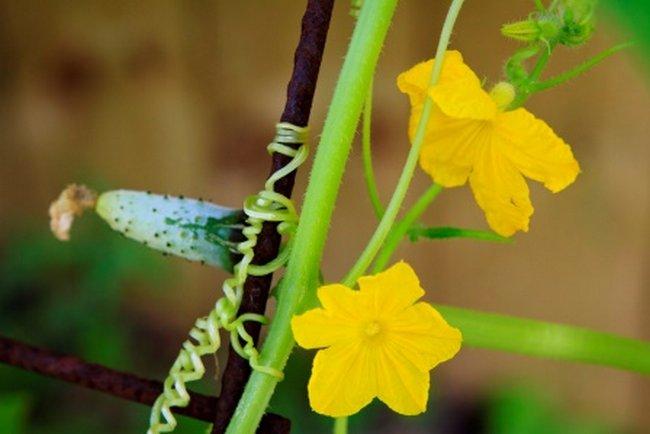 Почему много пустоцветов на огурцах что делать