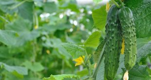 Чем подкормить огурцы во время плодоношения в открытом грунте