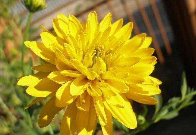 Рудбекия многолетняя сорта с фото