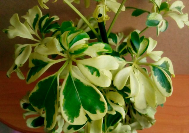 Шефлера цветок уход в домашних условиях формирование кроны
