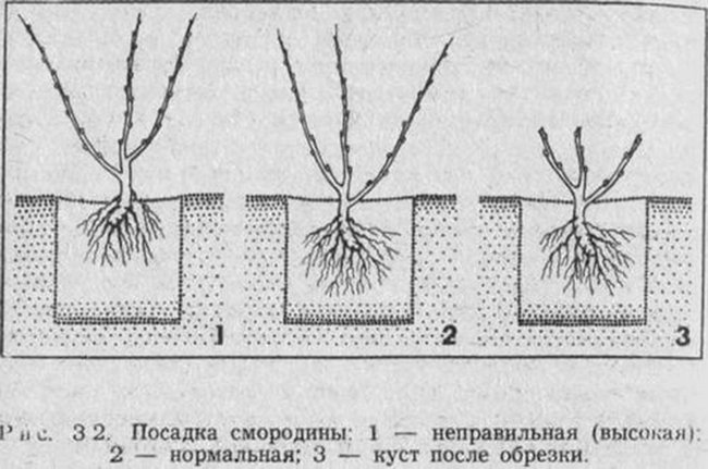 Как правильно посадить чёрную смородину осенью