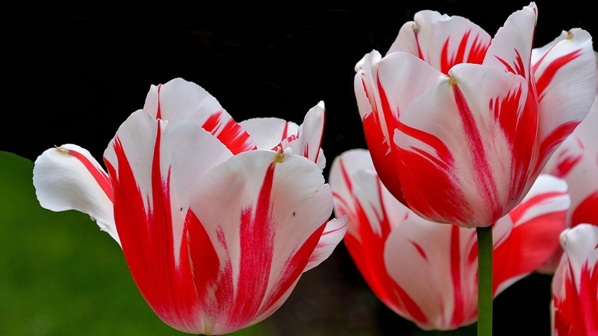 Как правильно посадить тюльпаны осенью в открытый грунт