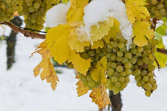 Как подготовить виноградную лозу к зиме
