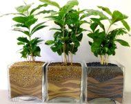 Как ухаживать за кофейным деревом в горшке в домашних условиях?