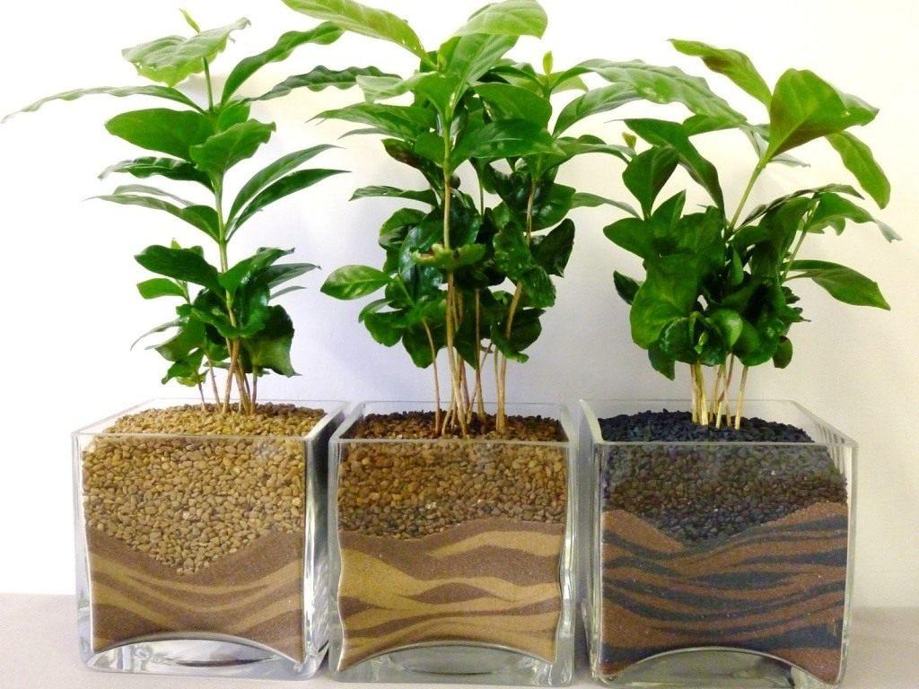 Как ухаживать за кофейным деревом в горшке в домашних условиях