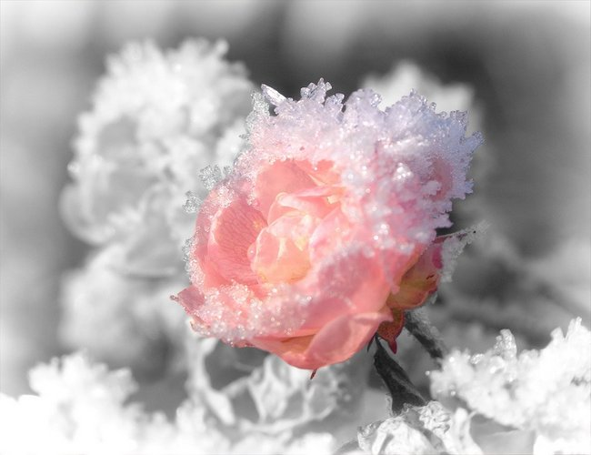 Как укрыть кустовую розу на зиму