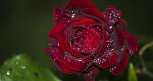 Когда укрывать розы на зиму на Урале