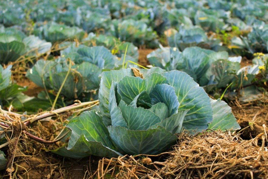 Что можно посадить после капусты на следующий год