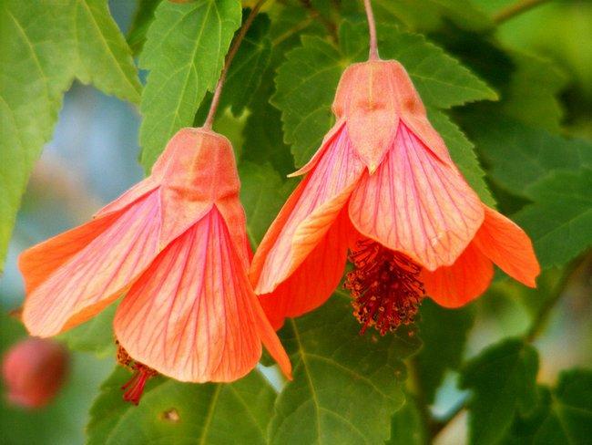 Цветы домашние комнатные цветущие