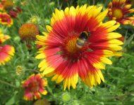 Гайлардия: травянистые растения для открытого грунта