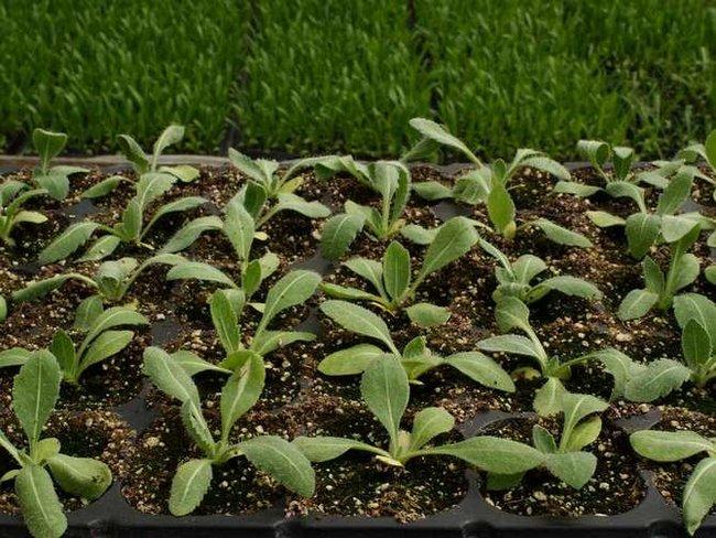 Гайлардия травянистые растения для открытого грунта