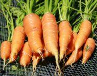 Посадка озимой моркови осенью